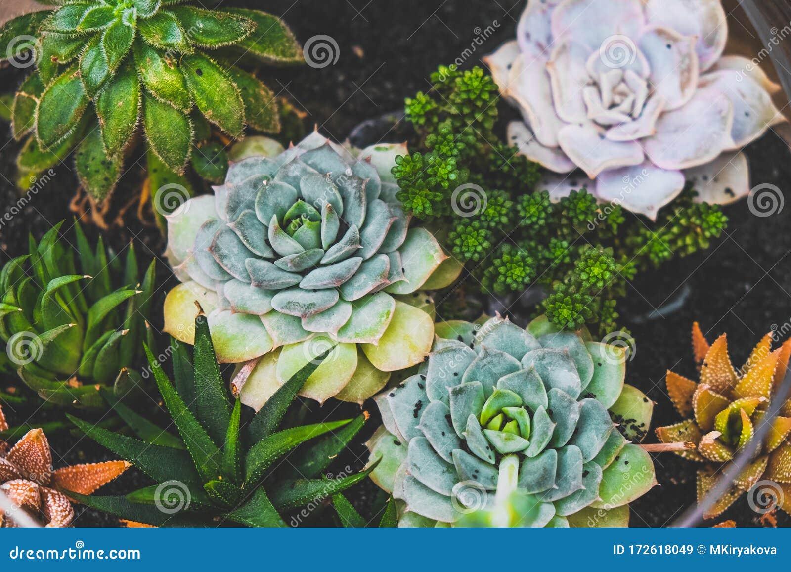 Colourful Succulent Plants In Pot Houseplants Stock Image