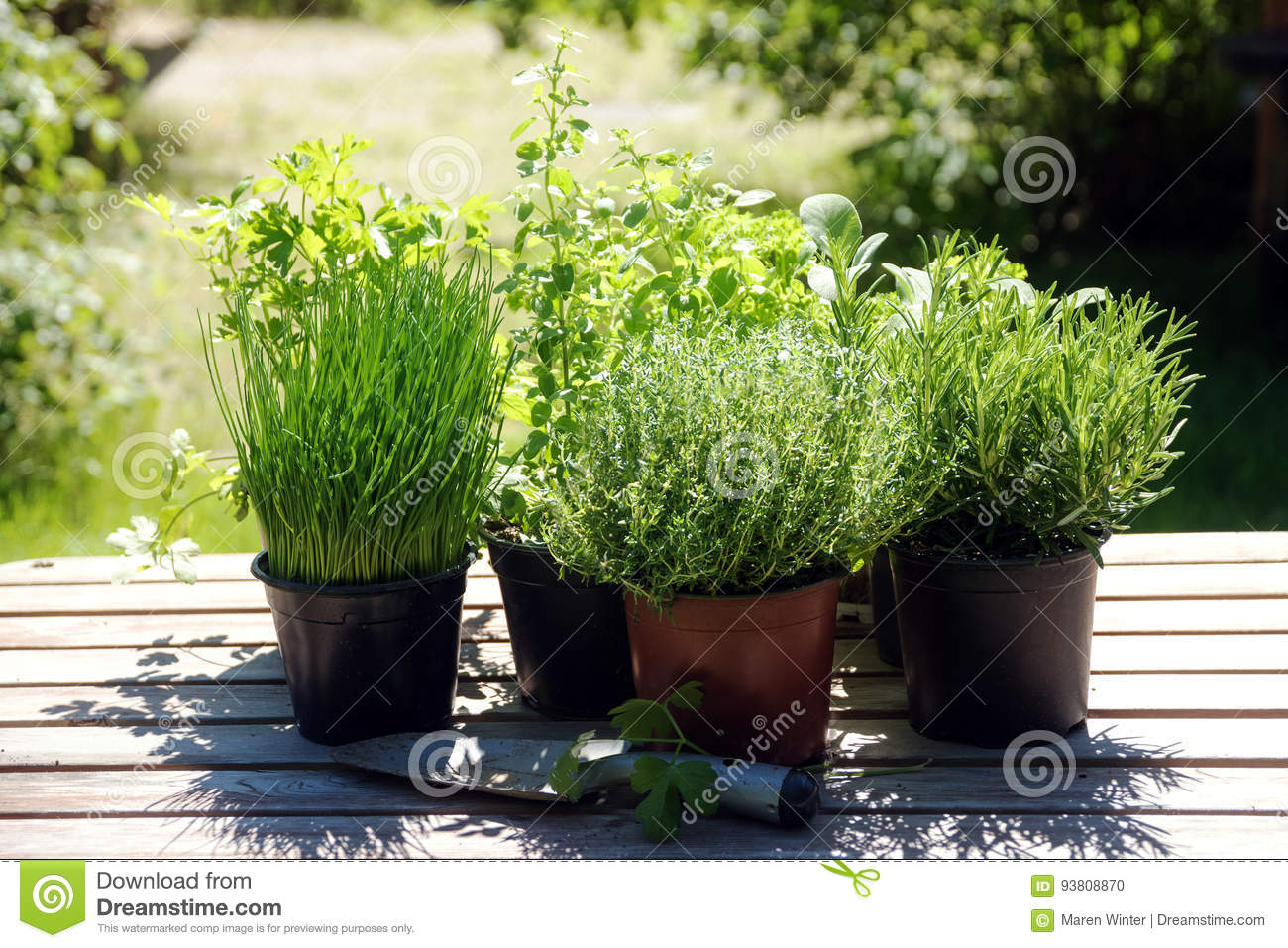 12041eb29e9 Potted kitchen herbs such as rosemary, thyme, parsley, sage, oregano and  chives on a wooden table in the sunny garden, for fresh and healthy cooking