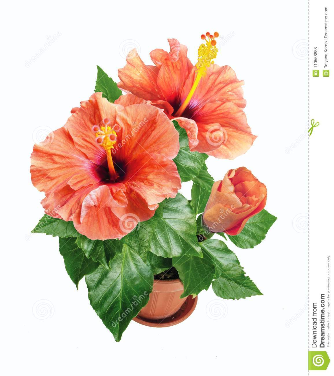 Potted pink hibiscus flowers isolated on white background stock royalty free stock photo izmirmasajfo