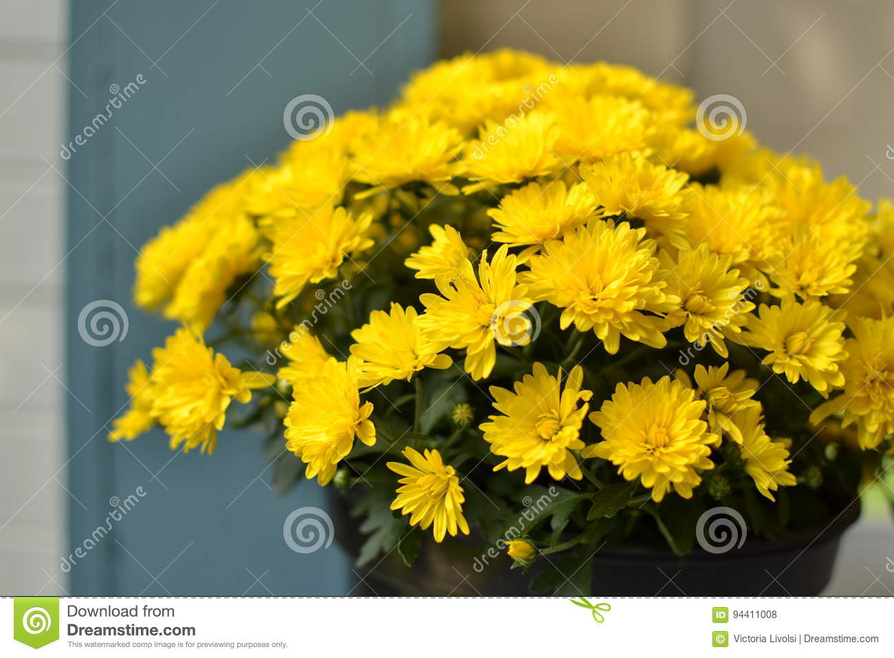Potted plant containing yellow flowers and blue background stock potted plant containing yellow flowers and blue background mightylinksfo