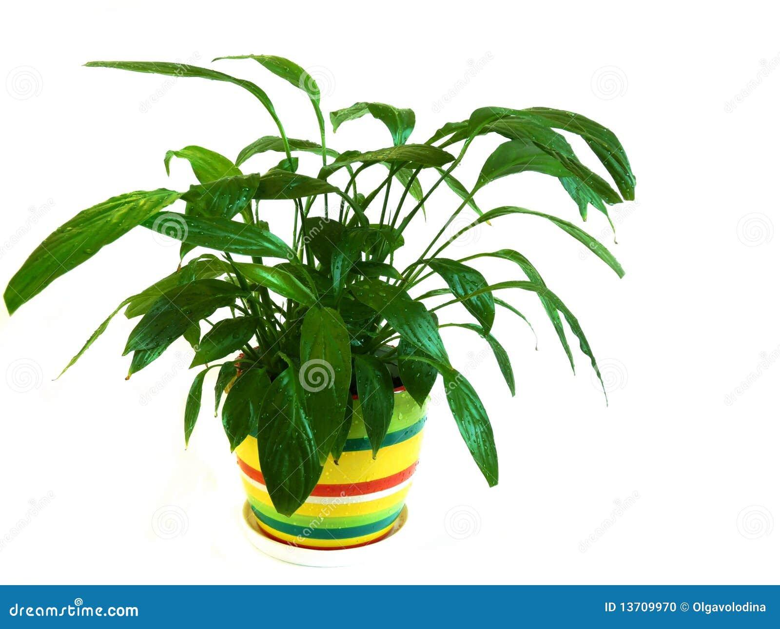 Спатифиллум с зелеными цветами фото