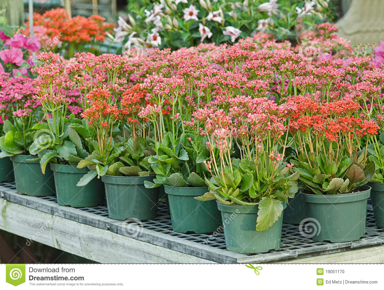 Potted plants in nursery stock photo image of bedding 19051170 potted plants in nursery mightylinksfo