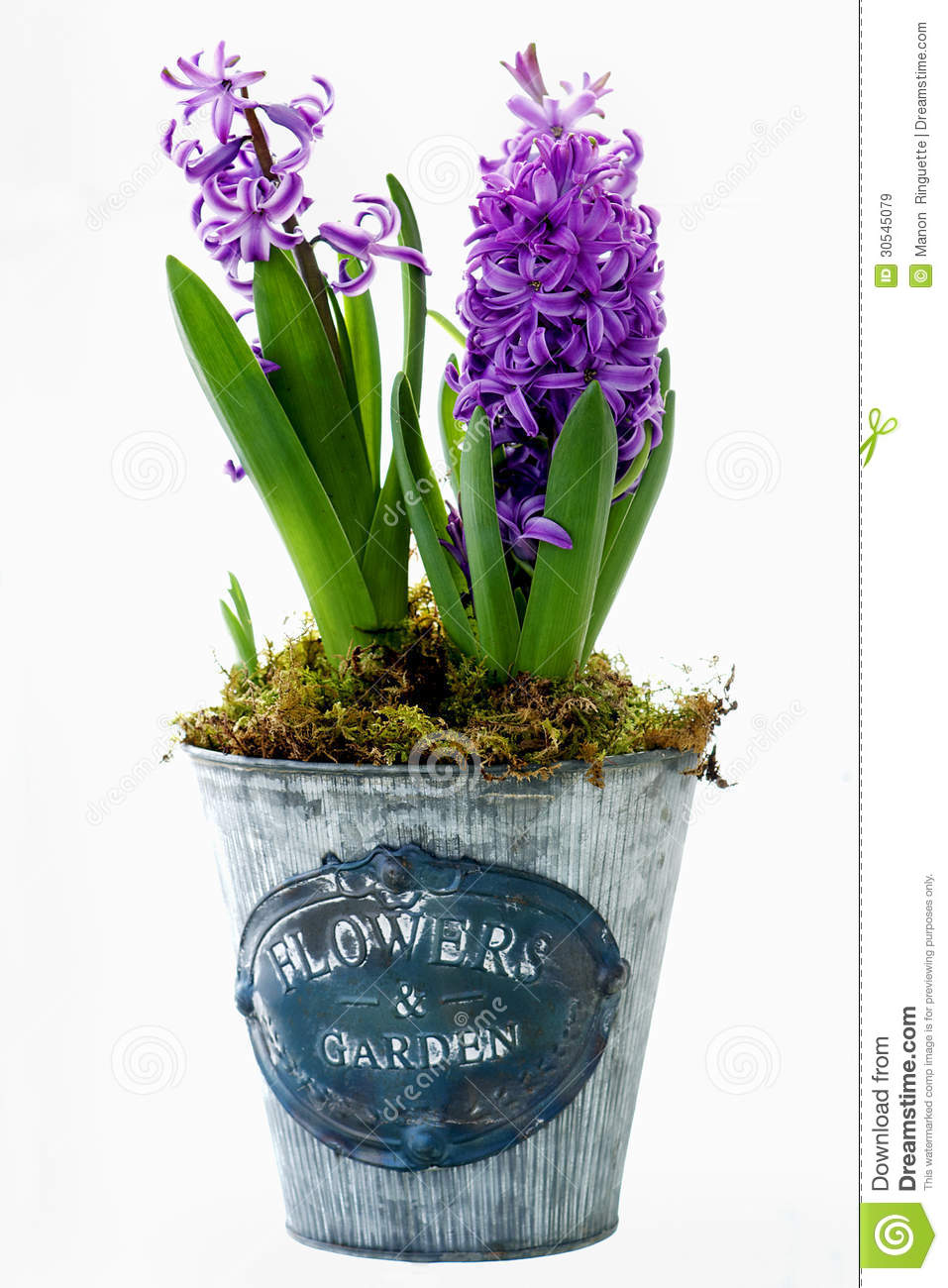 Potted purple hyacinths royalty free stock images image 30545079 - Planting hyacinths pots ...