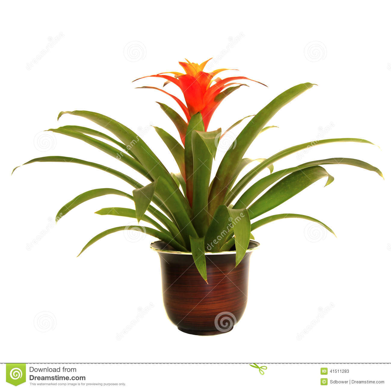 Potted Red Guzmania Bromeliad Isolated On White Stock