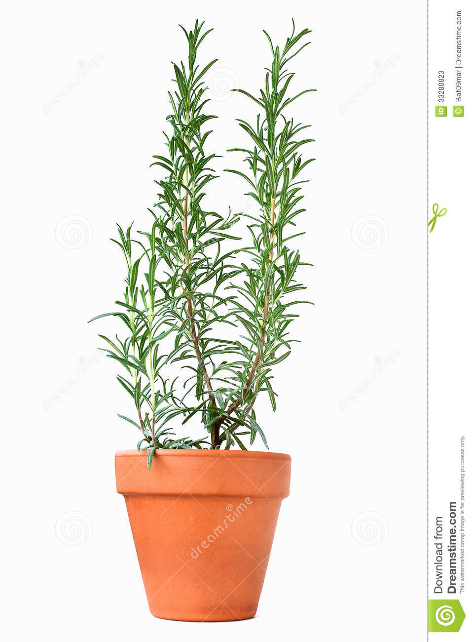 Potted Rosemary Plant Stock Photos - Image: 33280823