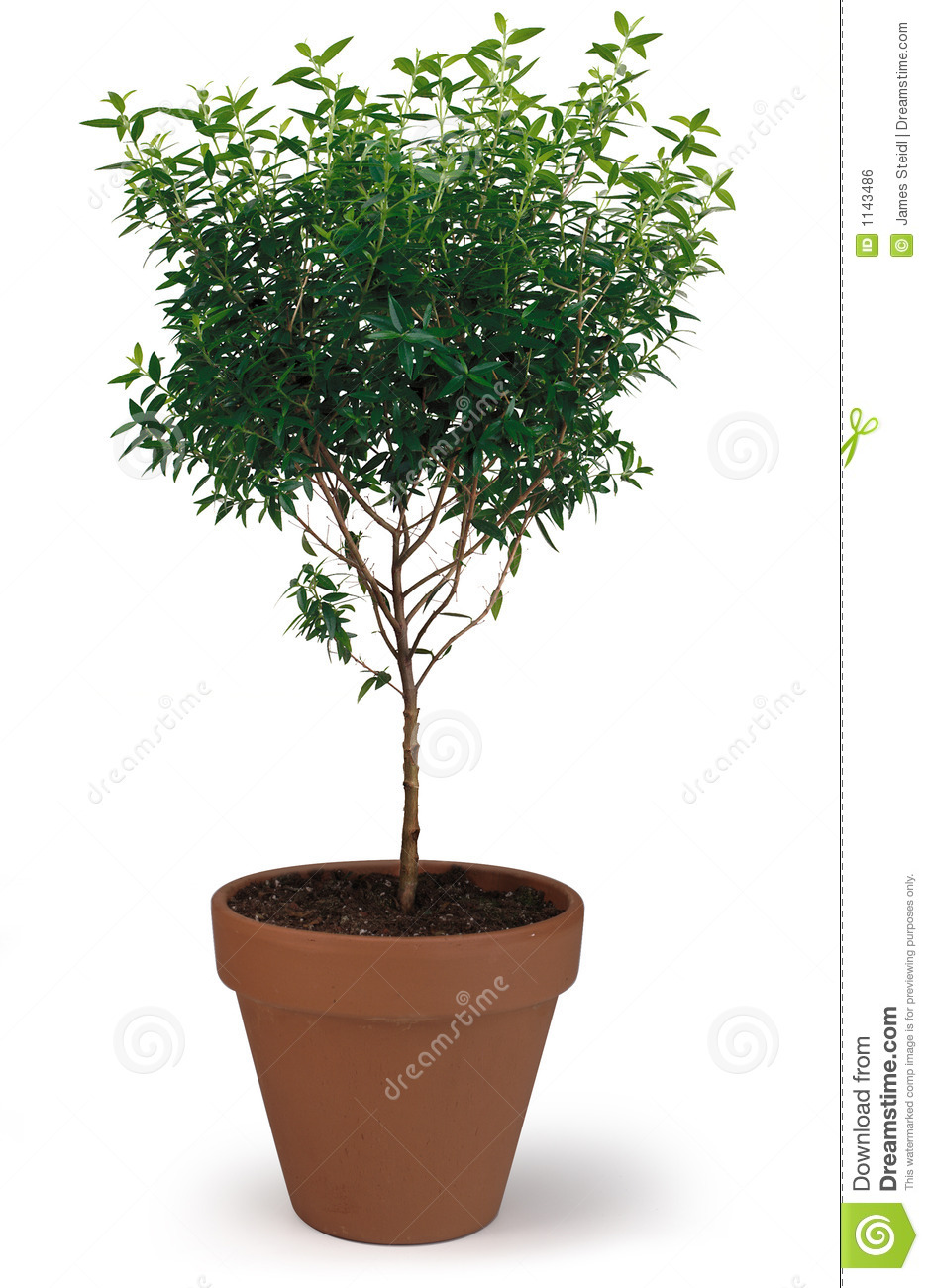 Potted Tree Stock Photo Image Of Growing Flowering