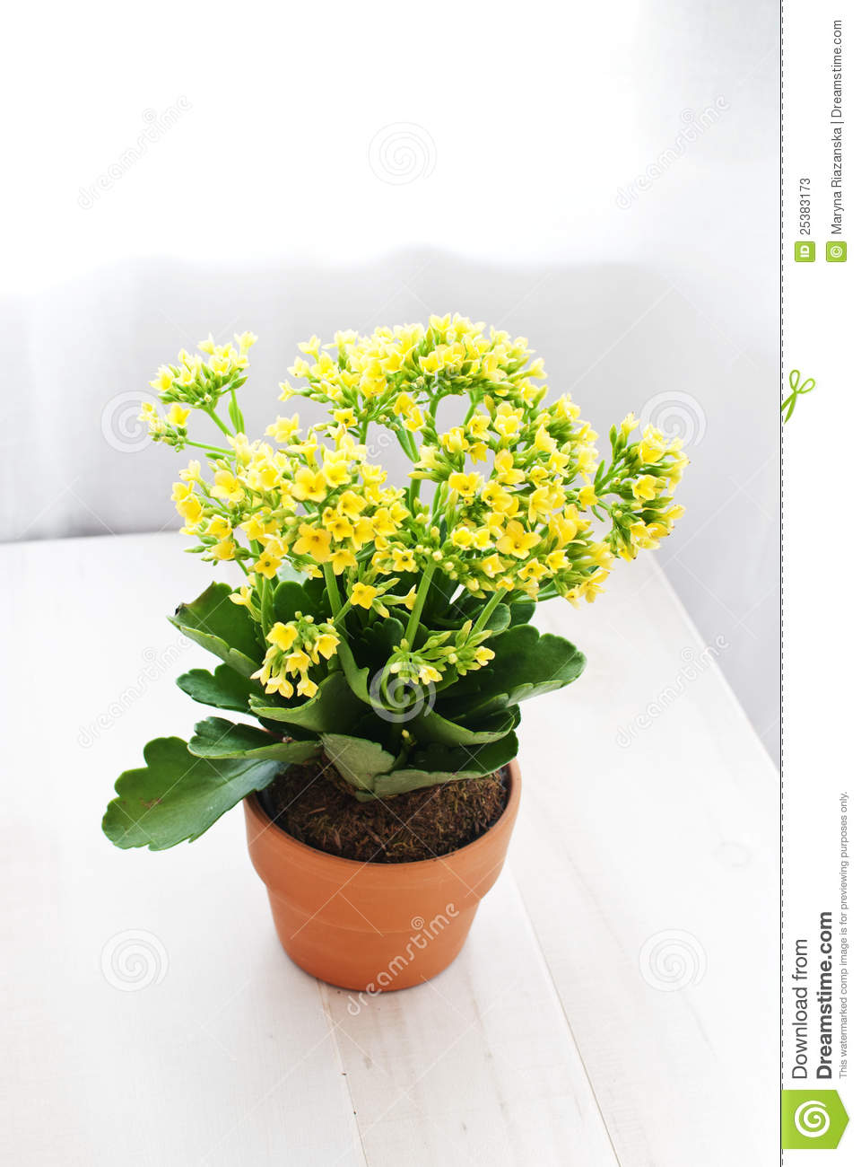 Potted Yellow Kolanhoe Flowers Stock Photos Image 25383173