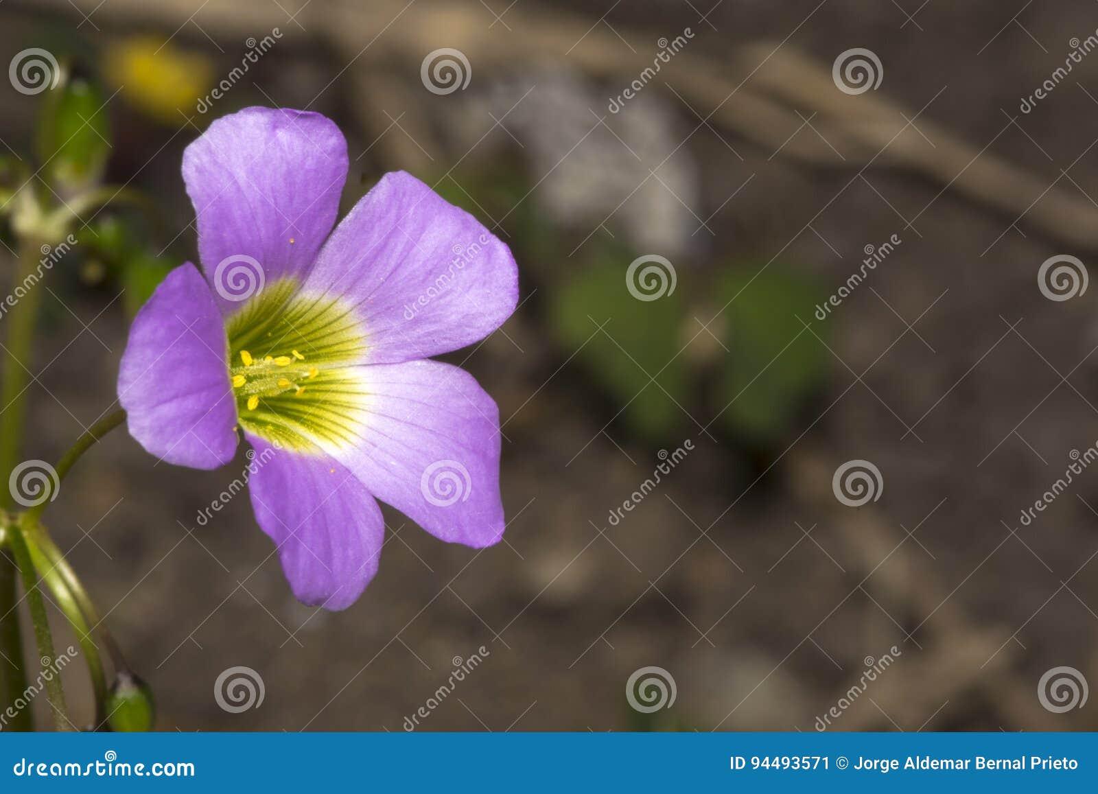 Pouca flor do woodsorrel em um jardim