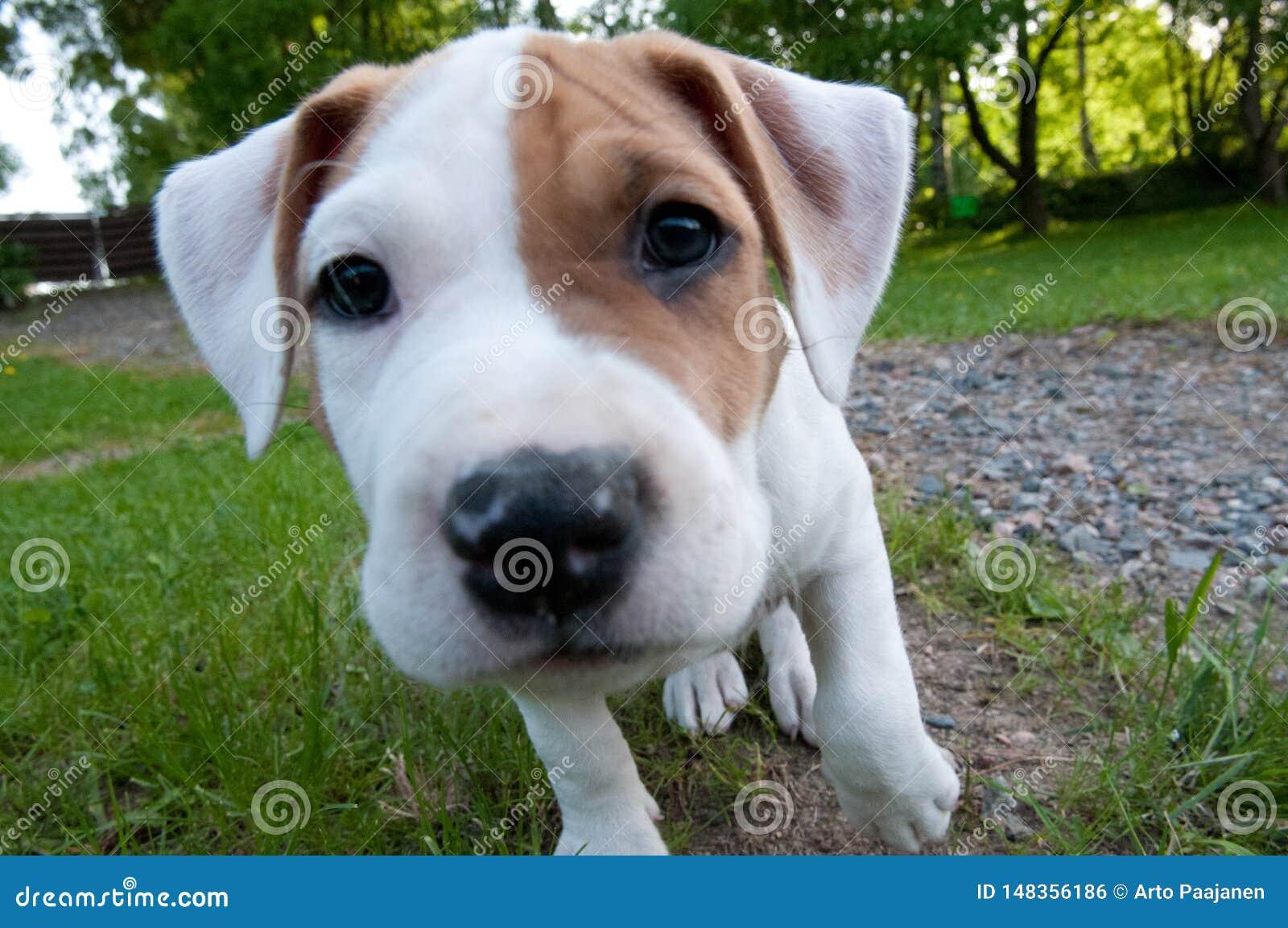 Pouco cachorrinho do amstaff está olhando a lente