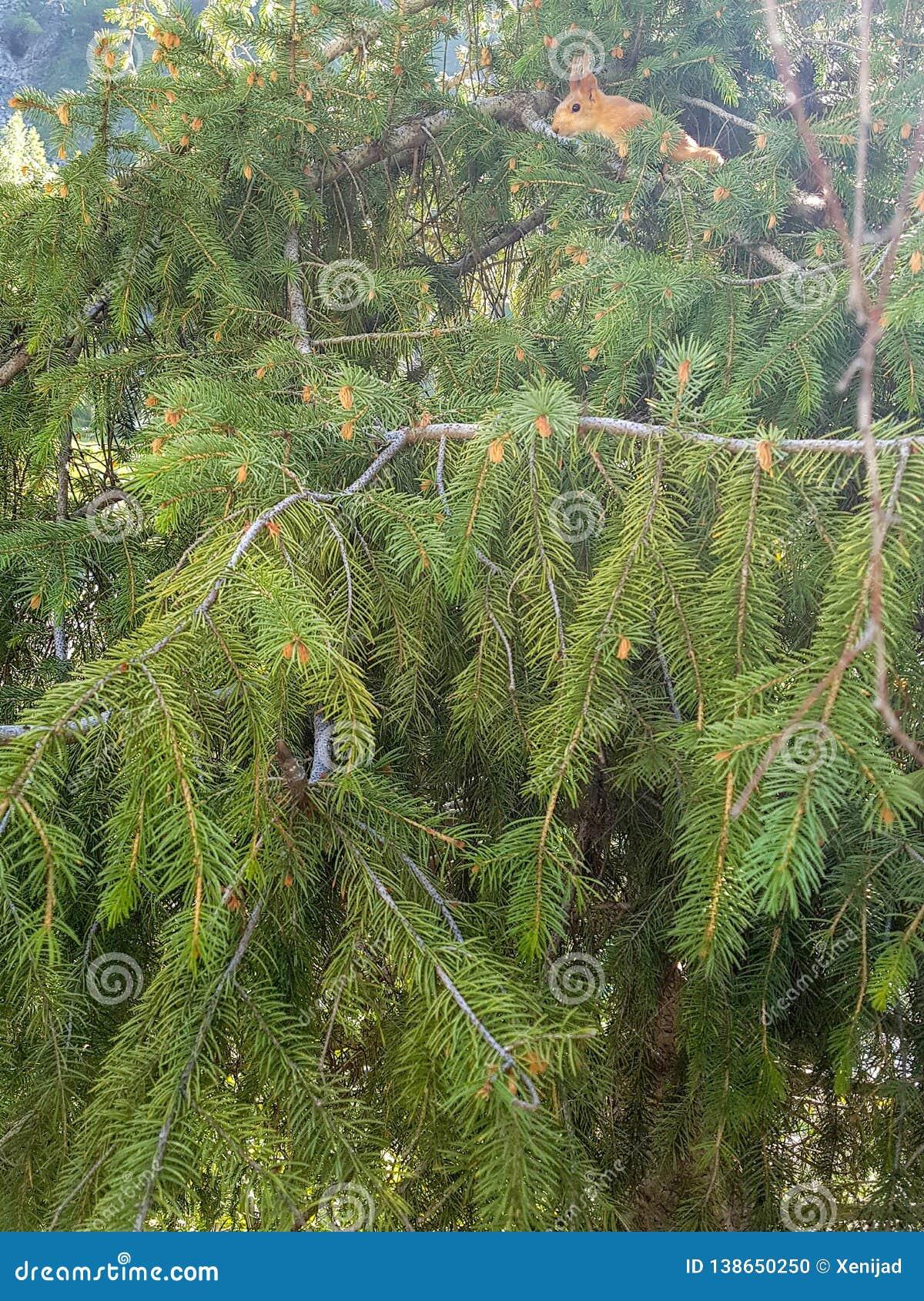 Pouco esquilo no pinheiro