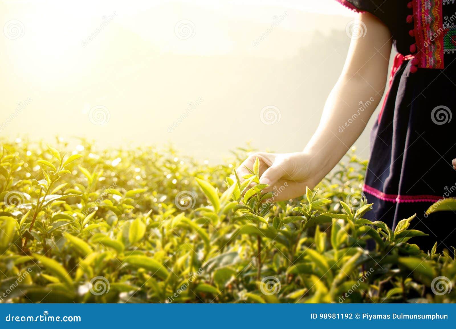 Pouco fazendeiro do tribo do monte das folhas de chá da colheita de Tailândia no chá