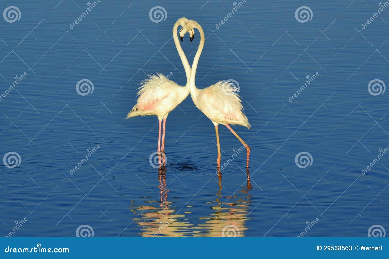 Pouco flamingo