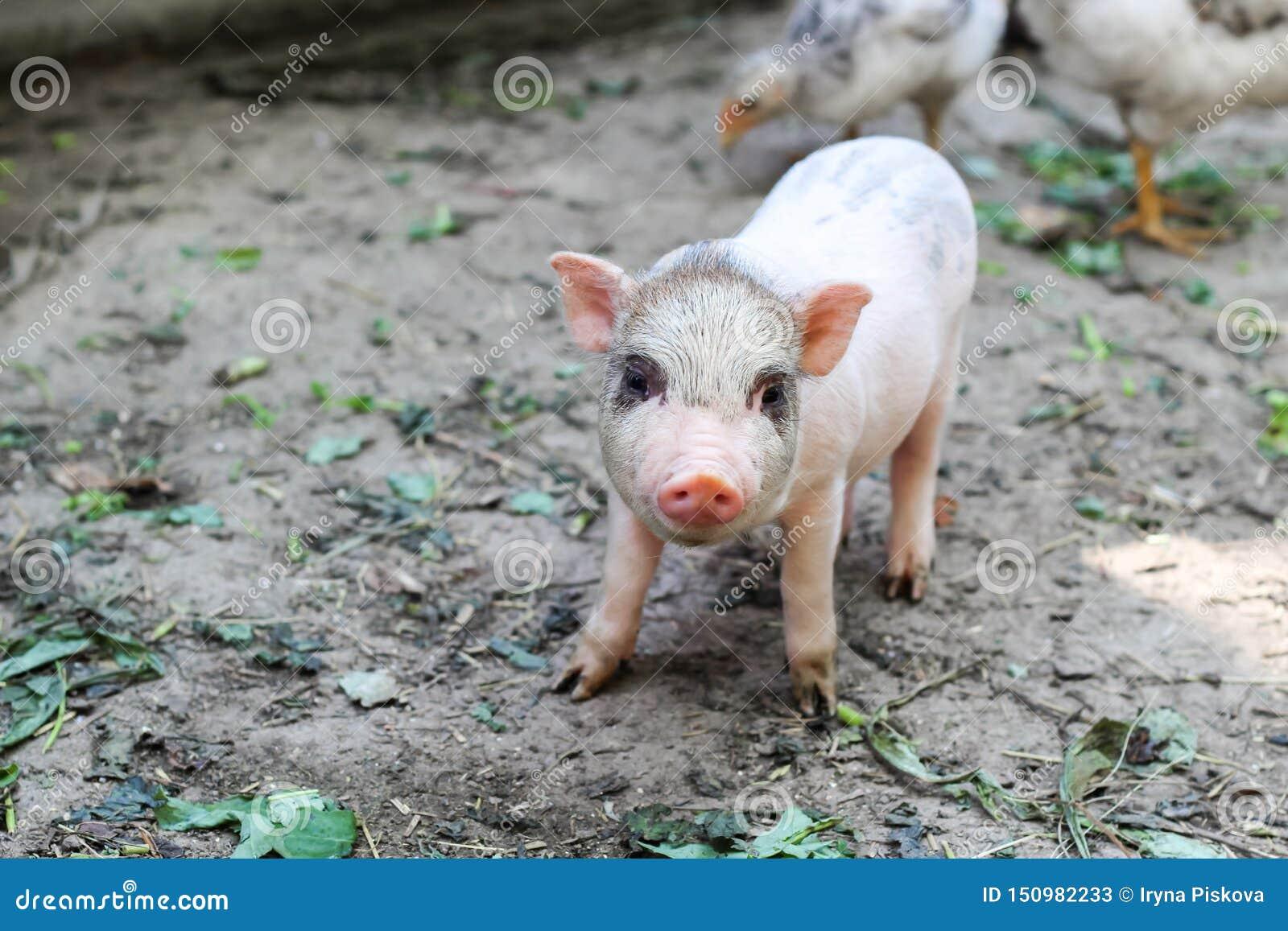 Pouco leitão vietnamiano em uma exploração agrícola porco pequeno bonito que olha a câmera