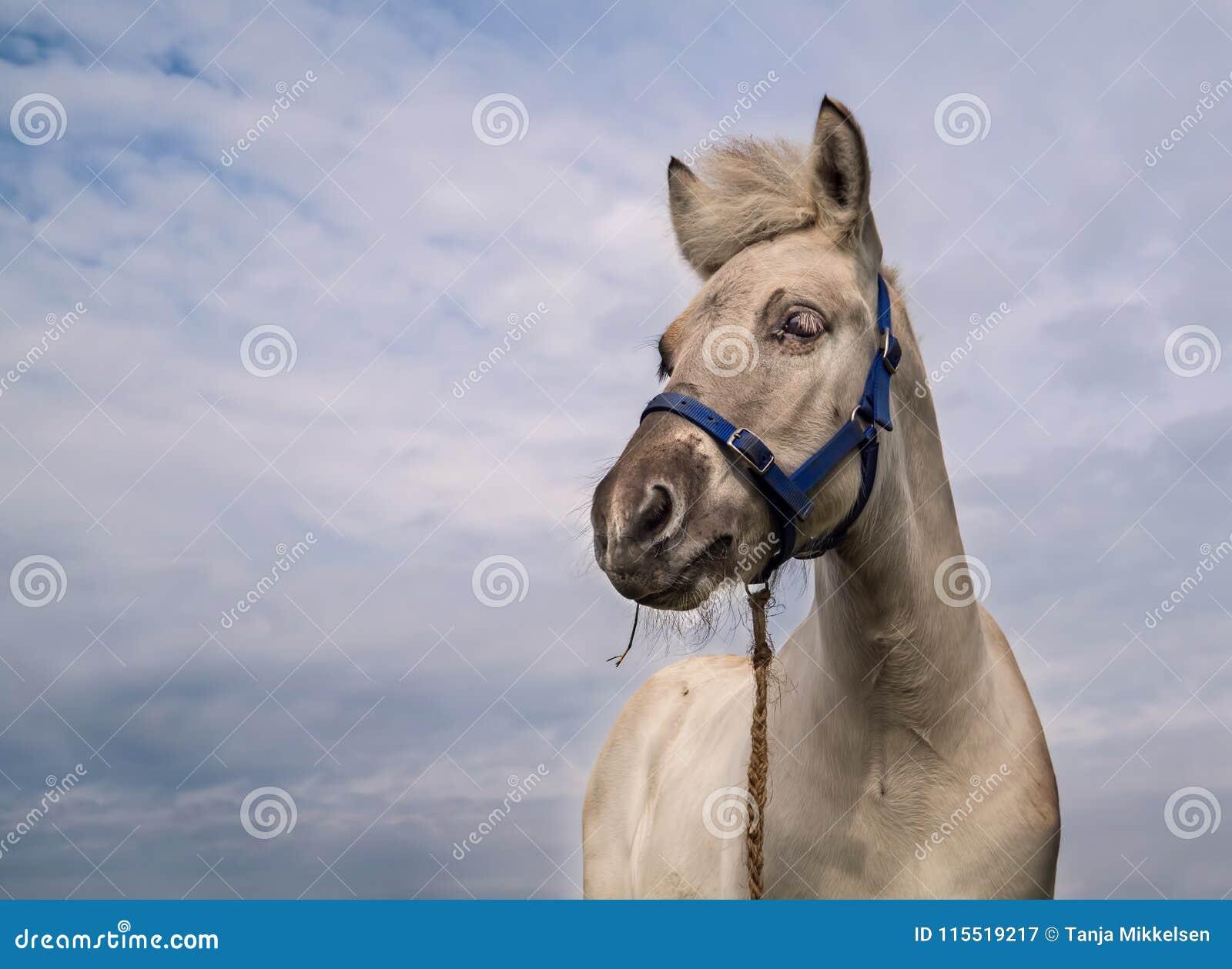 Poulain de cheval de fjord d isolement