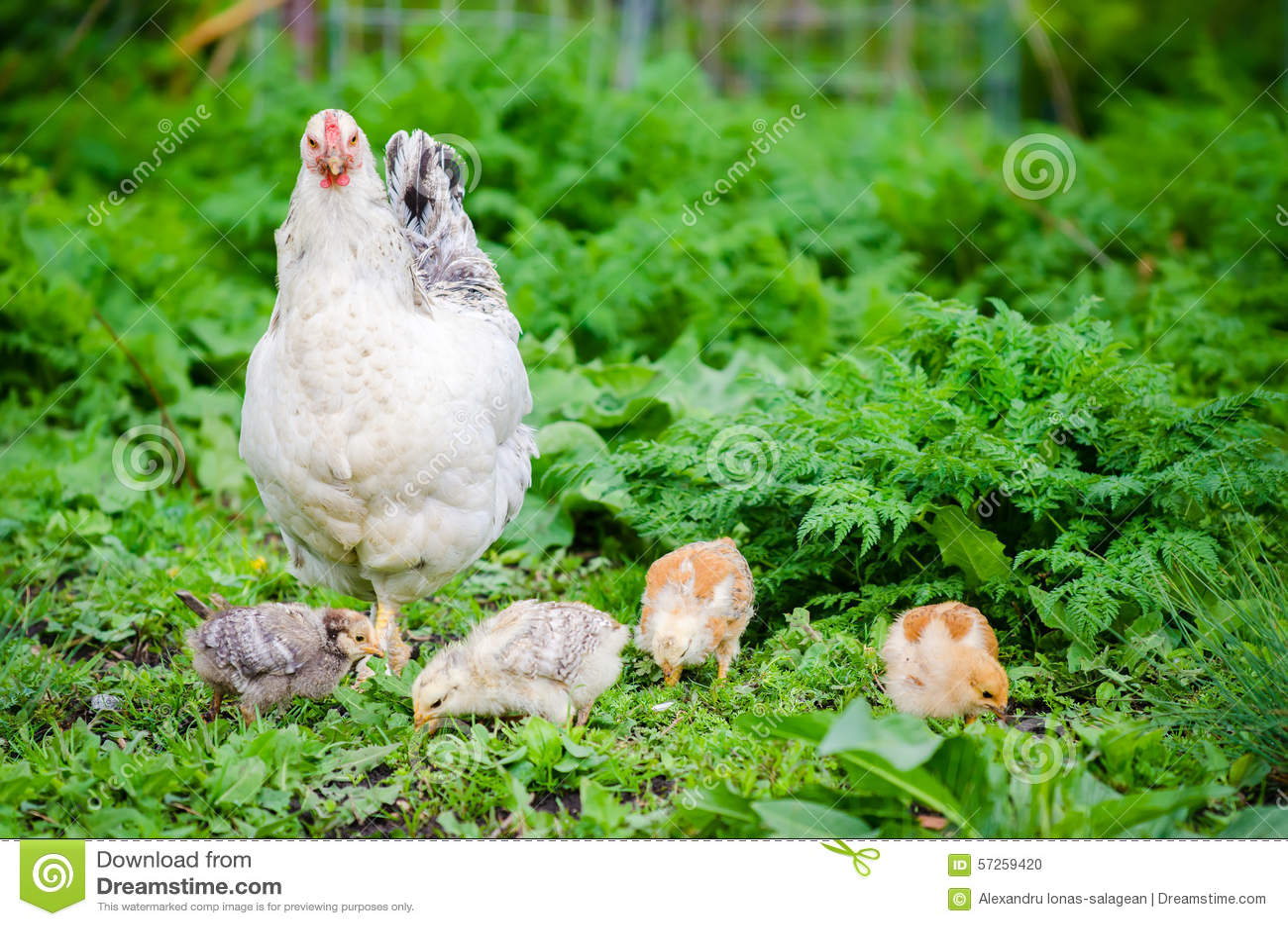 Poule avec des poussins dans un jardin d 39 herbe verte photo Poule dans le jardin