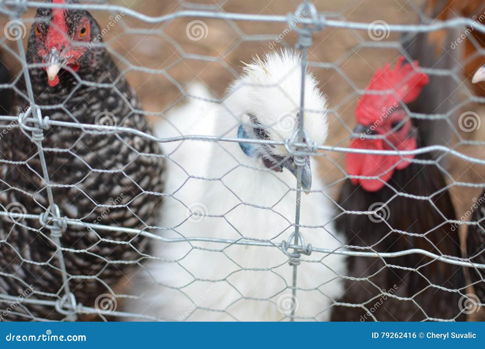 Poule blanche