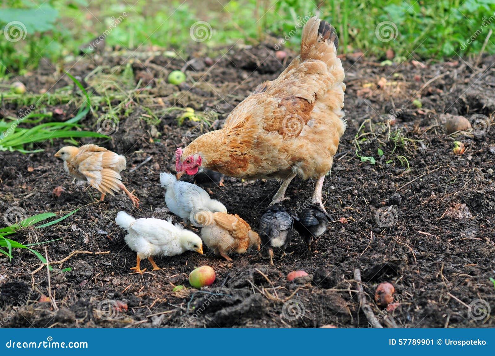 Poule de mère avec des poulets