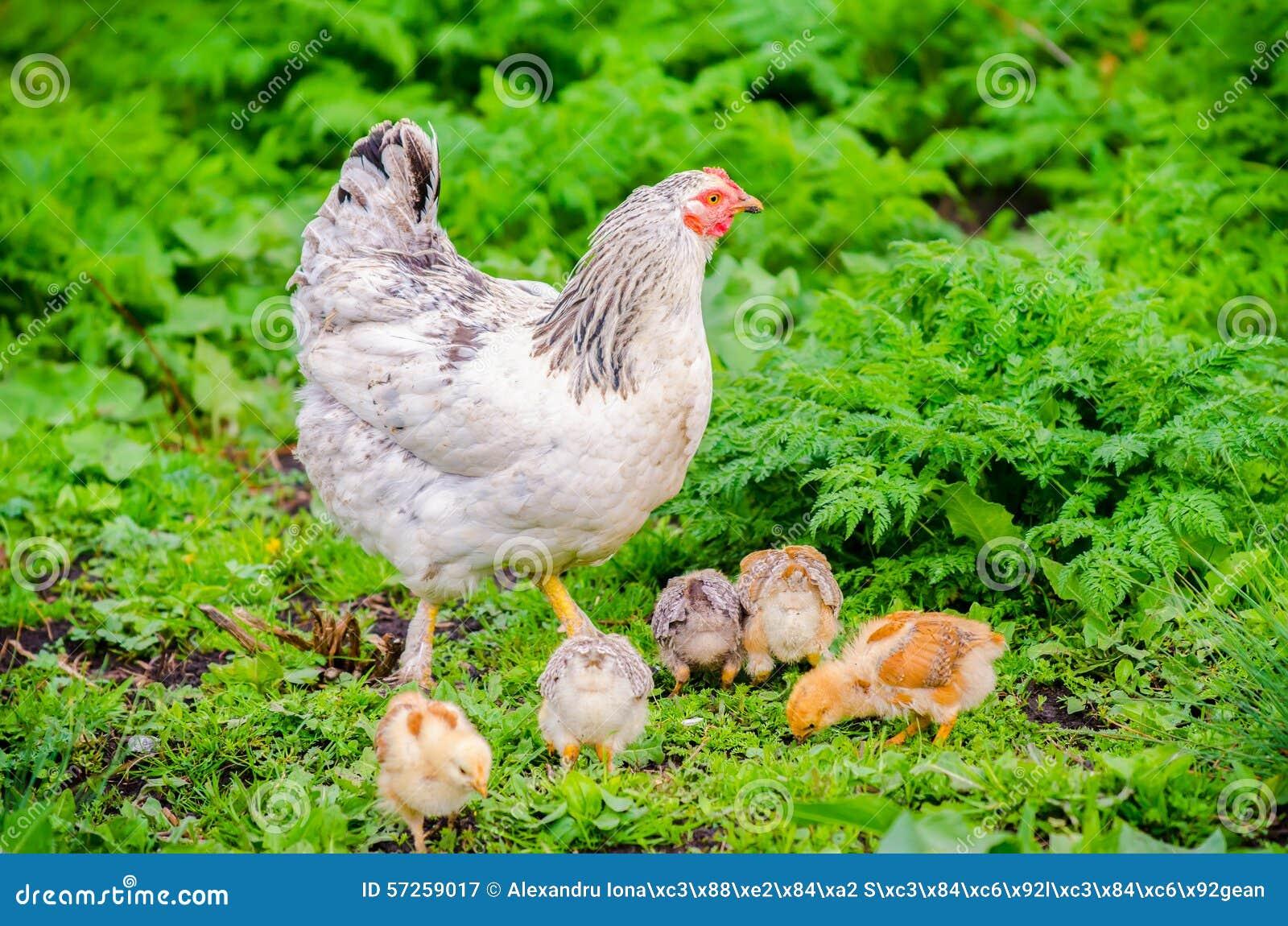 Poule de poulet avec des poussins