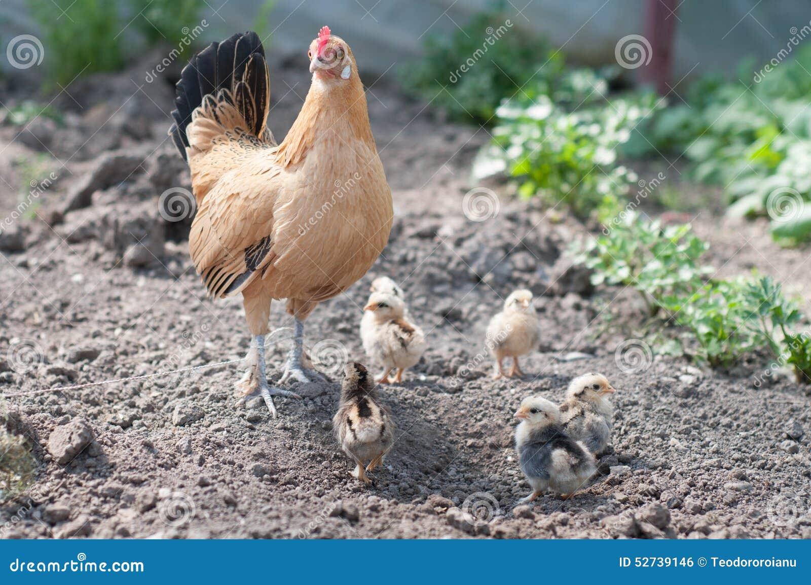 Poule et poulets 2