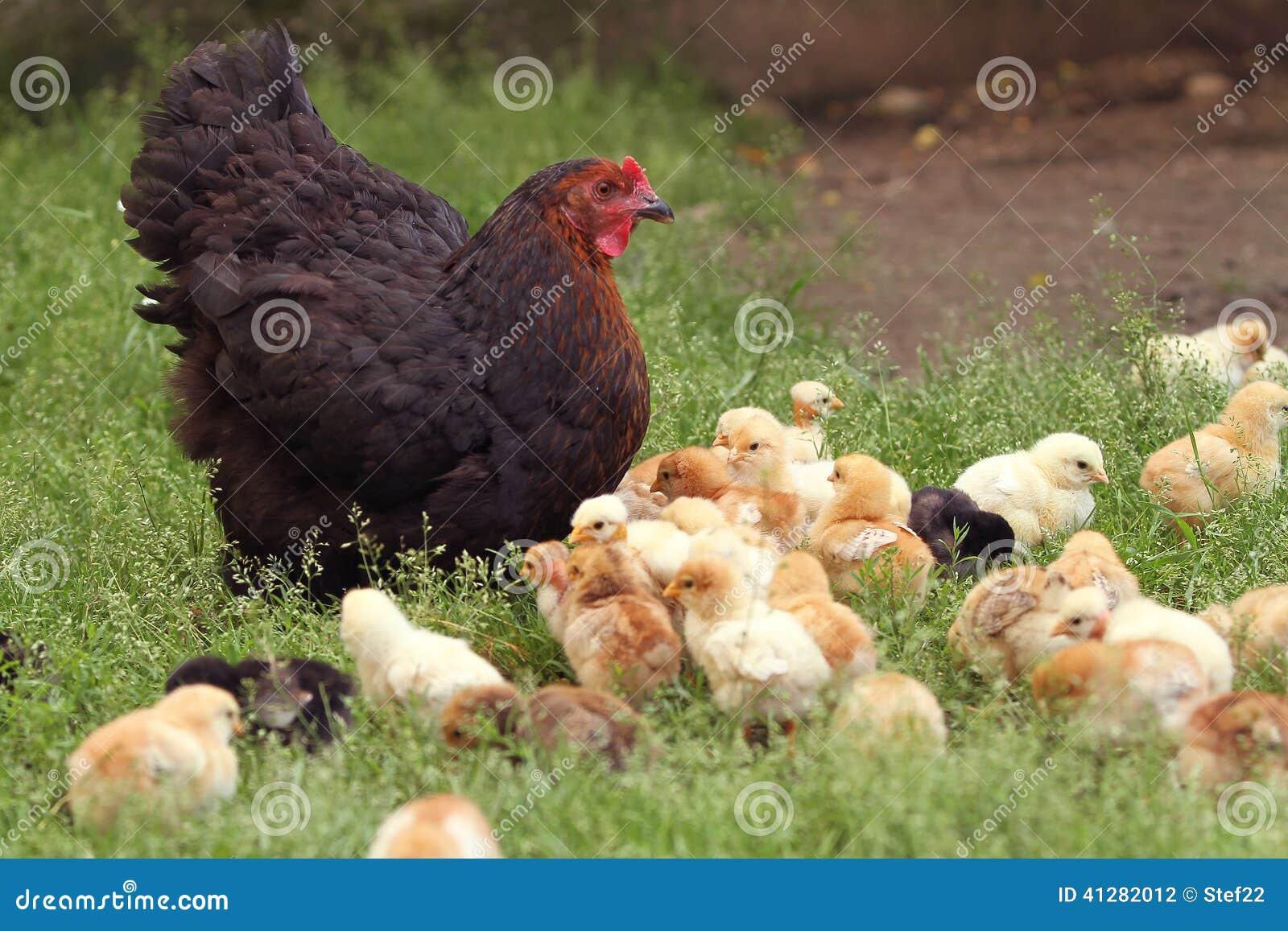 Poule et poussins gloussants