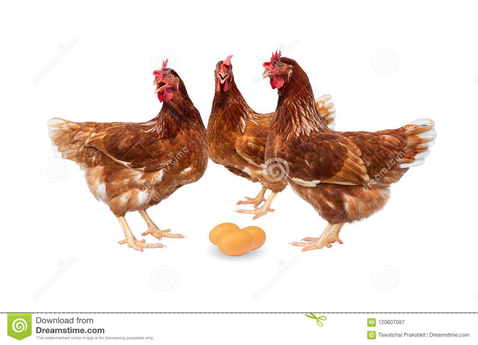 Poules de Brown avec des oeufs d isolement sur le fond blanc, poulets d isolement sur le blanc