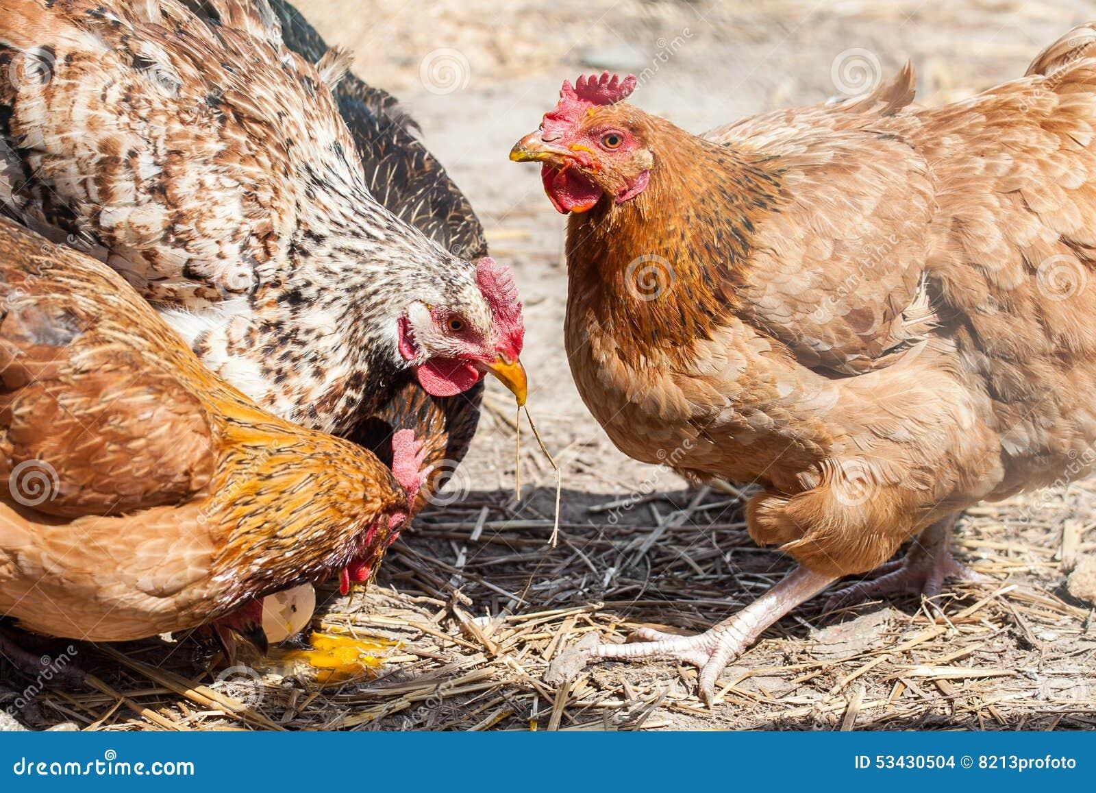 Poules Gratuites De Ferme De Gamme Photo Stock Image Du Feathered