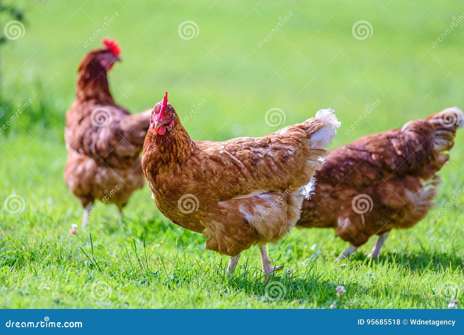 Poules Gratuites Et Heureuses Photo Stock Image Du Cour Oiseau
