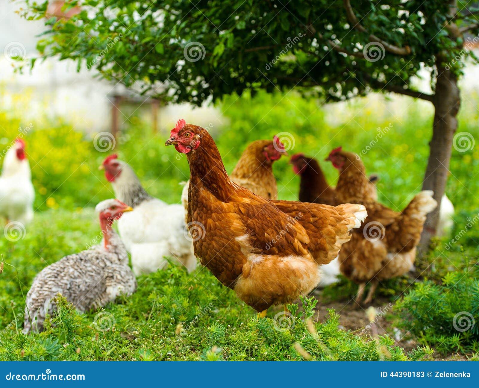 Poulet à la ferme