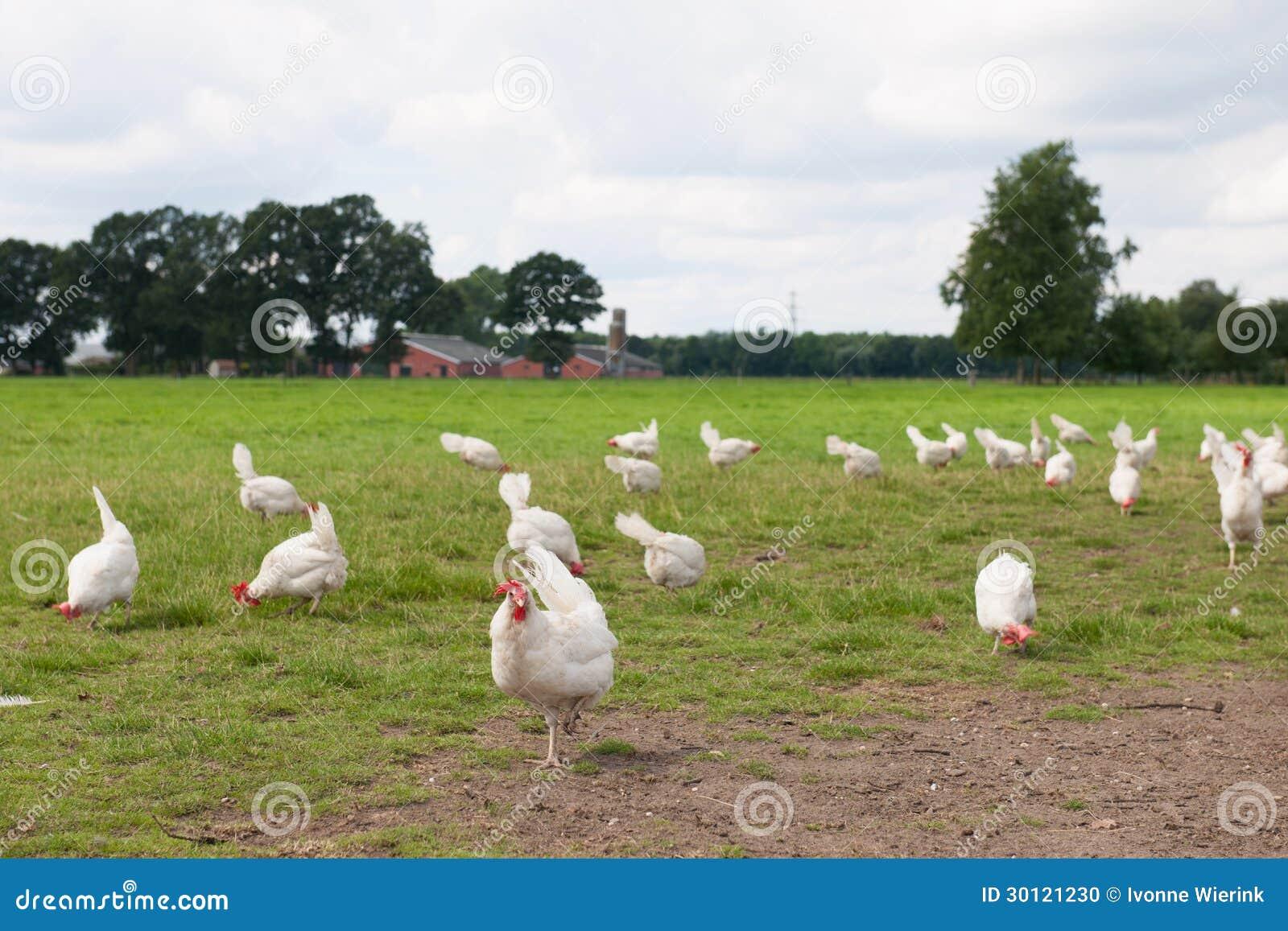 Poulet biologique
