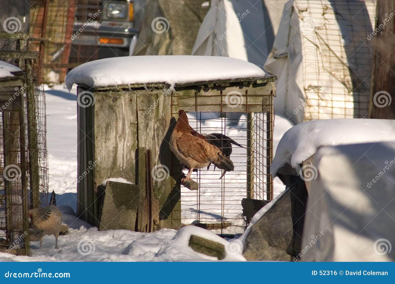 Poulet dans la cage