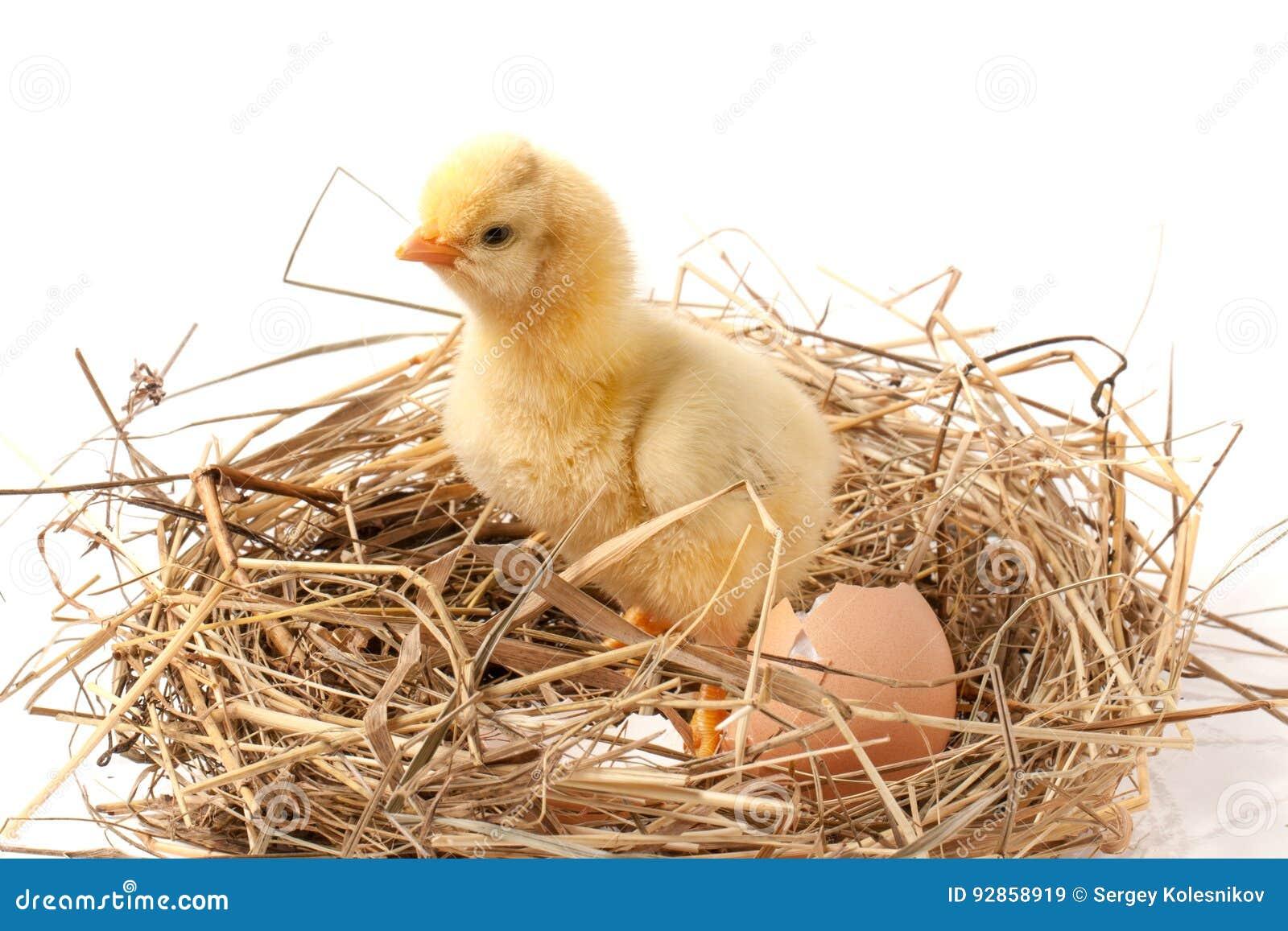 Poulet de b b avec la coquille d 39 oeuf cass e dans le nid de paille sur le fond blanc image - Coquille d oeuf dans le jardin ...