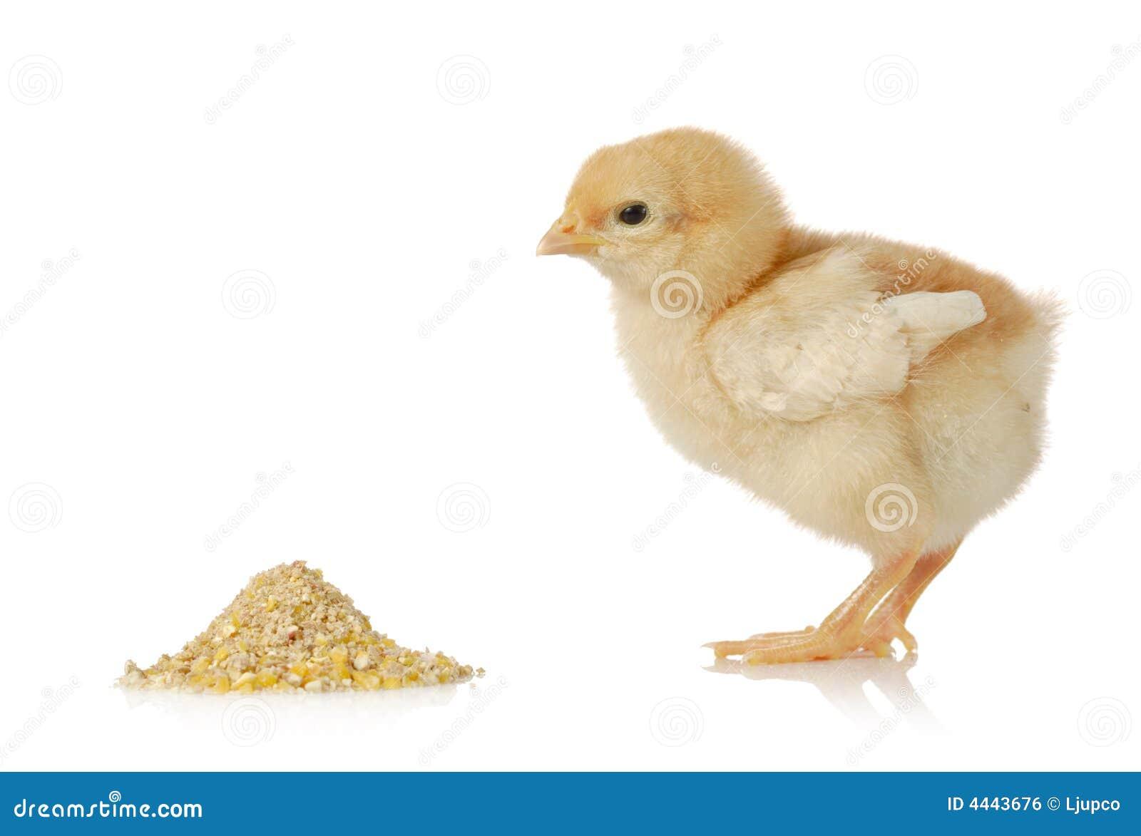 Poulet de chéri ayant un repas