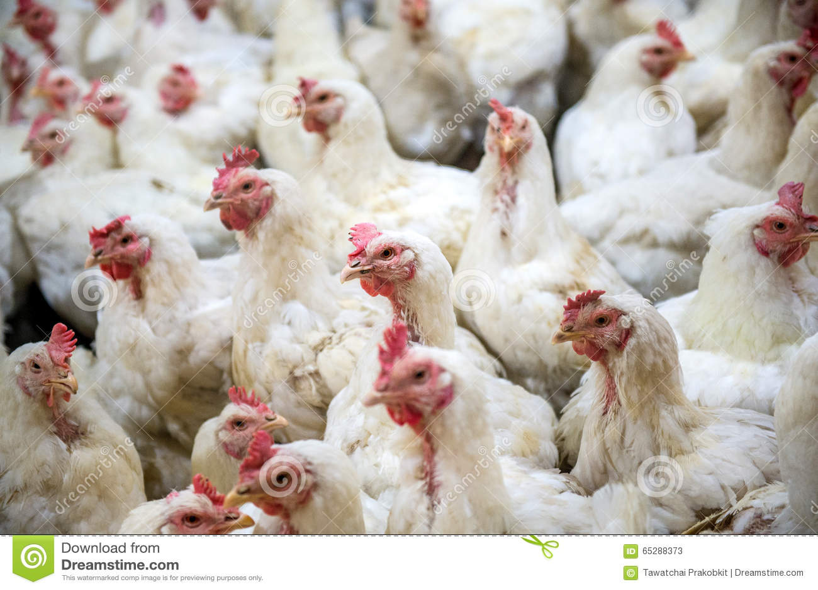 Poulet malade ou poulet triste dans la ferme, épidémie, grippe aviaire