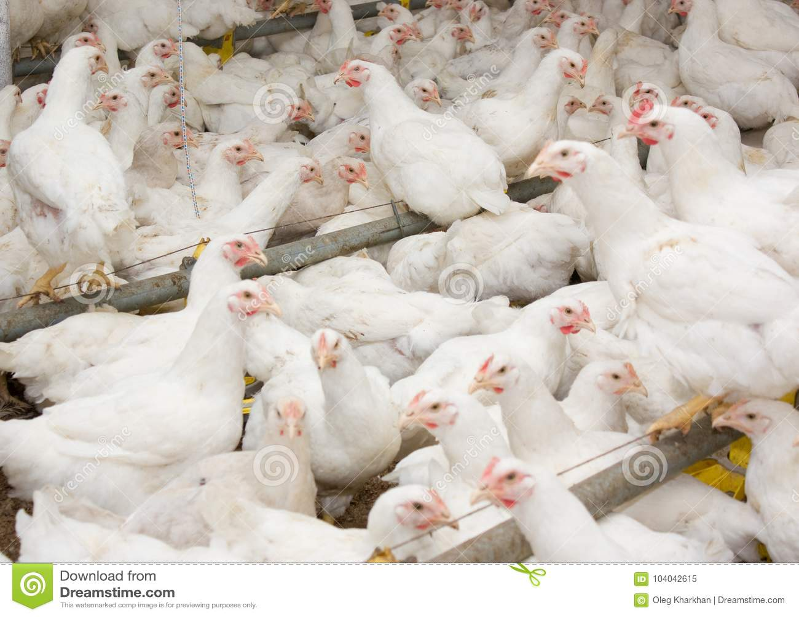 Poulets à rôtir blancs à la ferme avicole