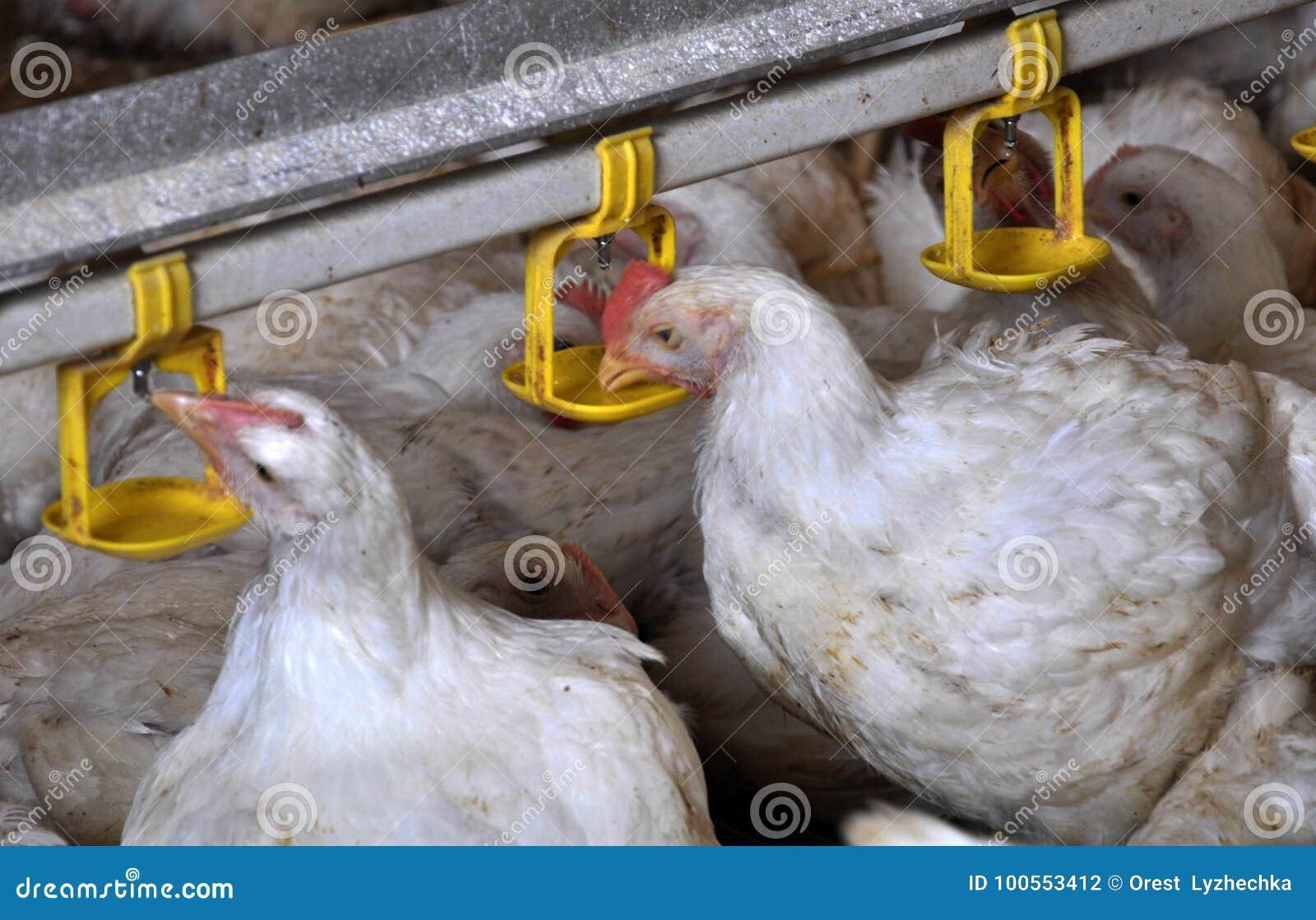 Poulets à rôtir de poulet près du drink_16