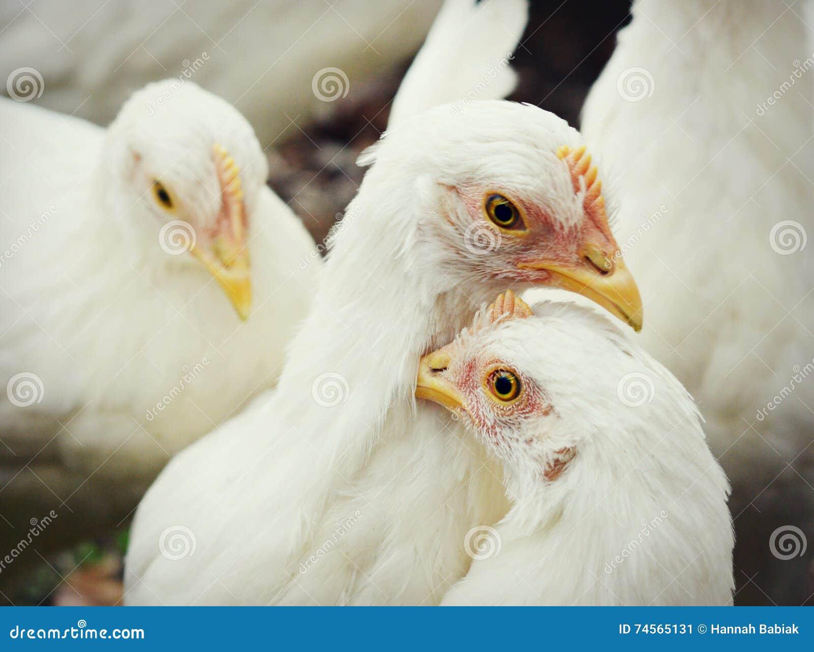 Poulets blancs