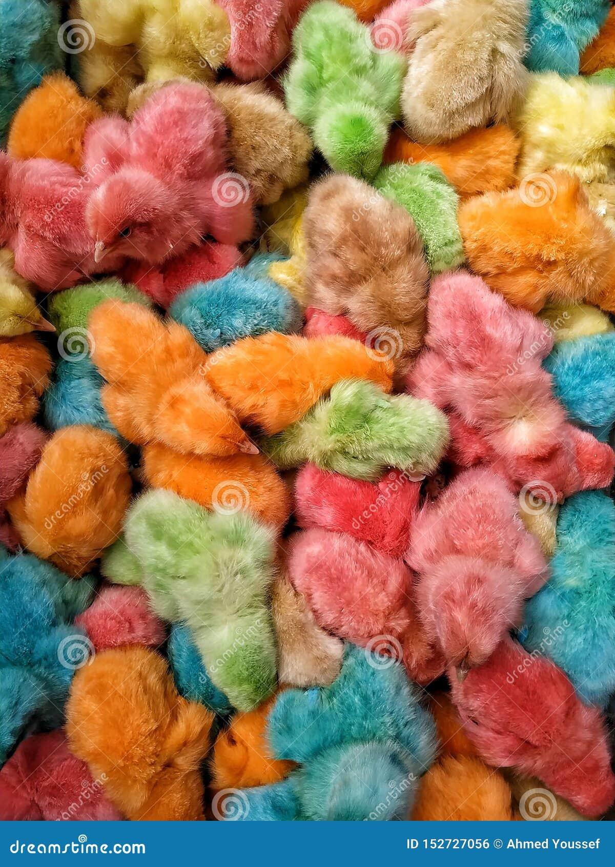 Poulets colorés de bébé de poussins colorés en Egypte