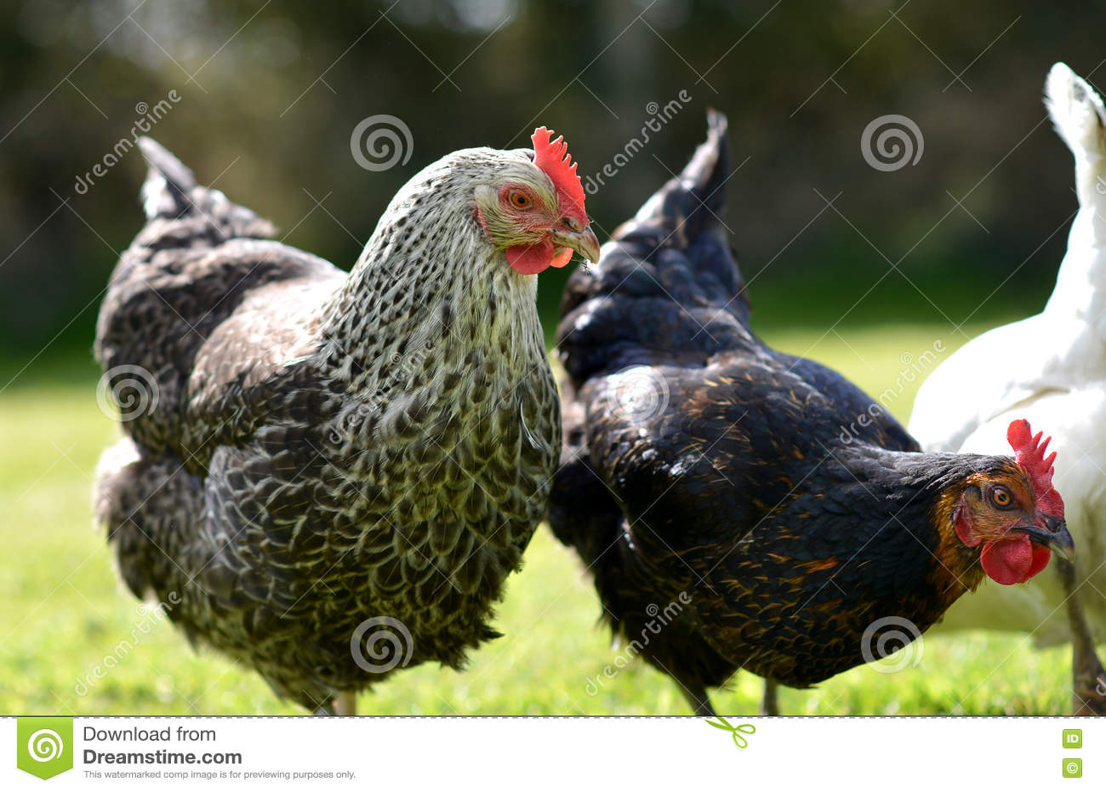 Poulets d animal familier