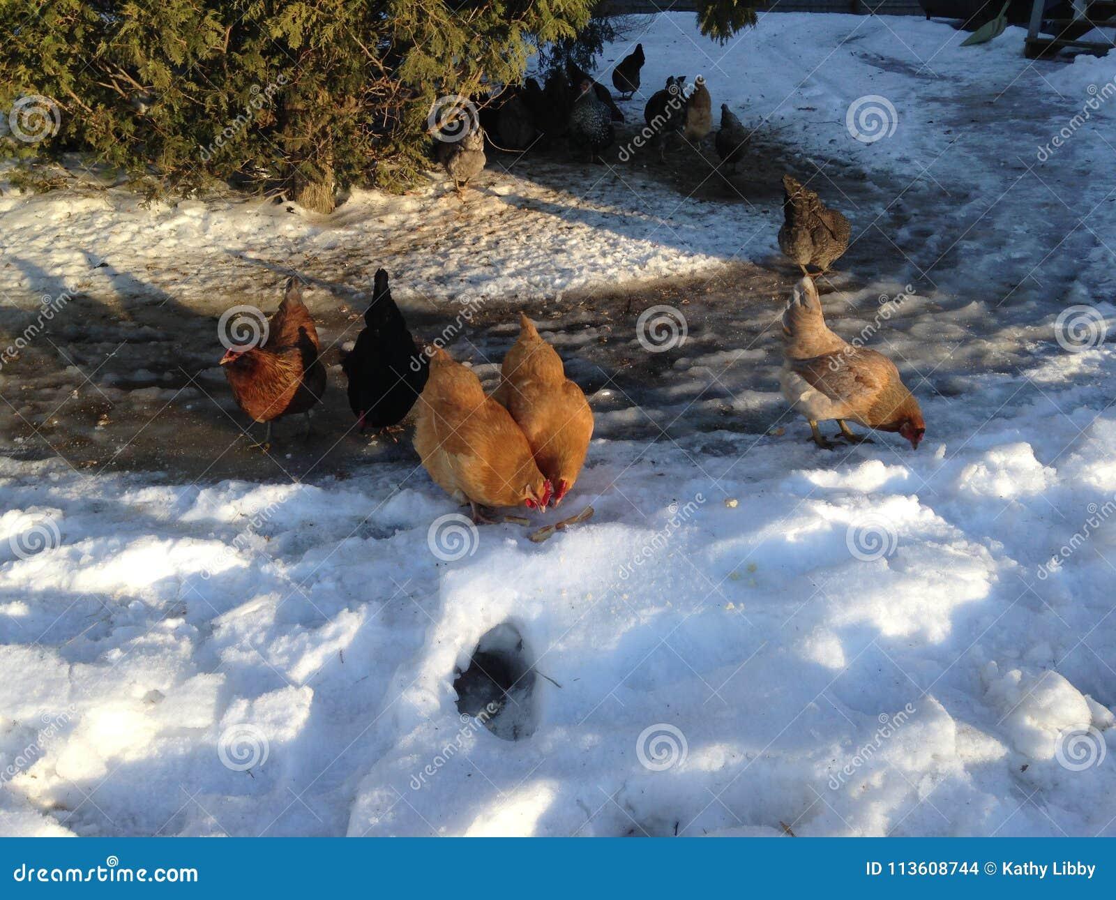 Poulets dans la neige