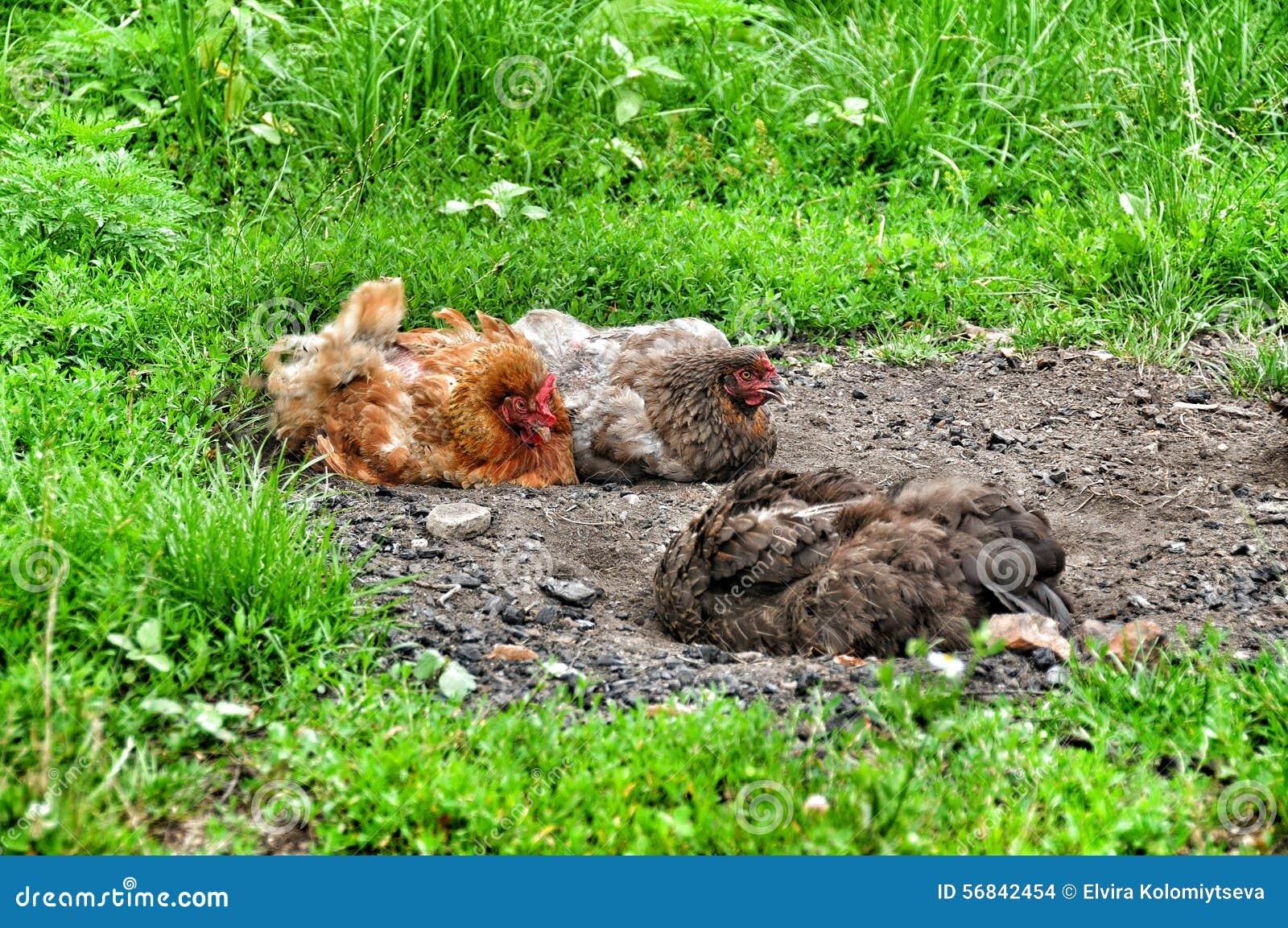 Poulets dans la poussière