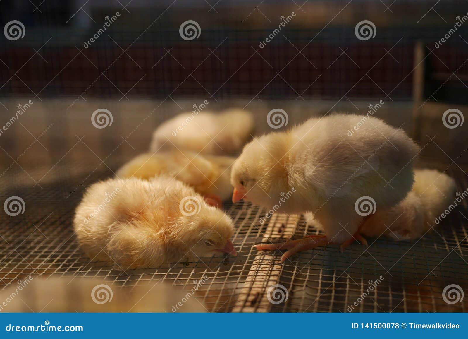 Poulets de ferme dans une cage - poussins/piaulements de bébé