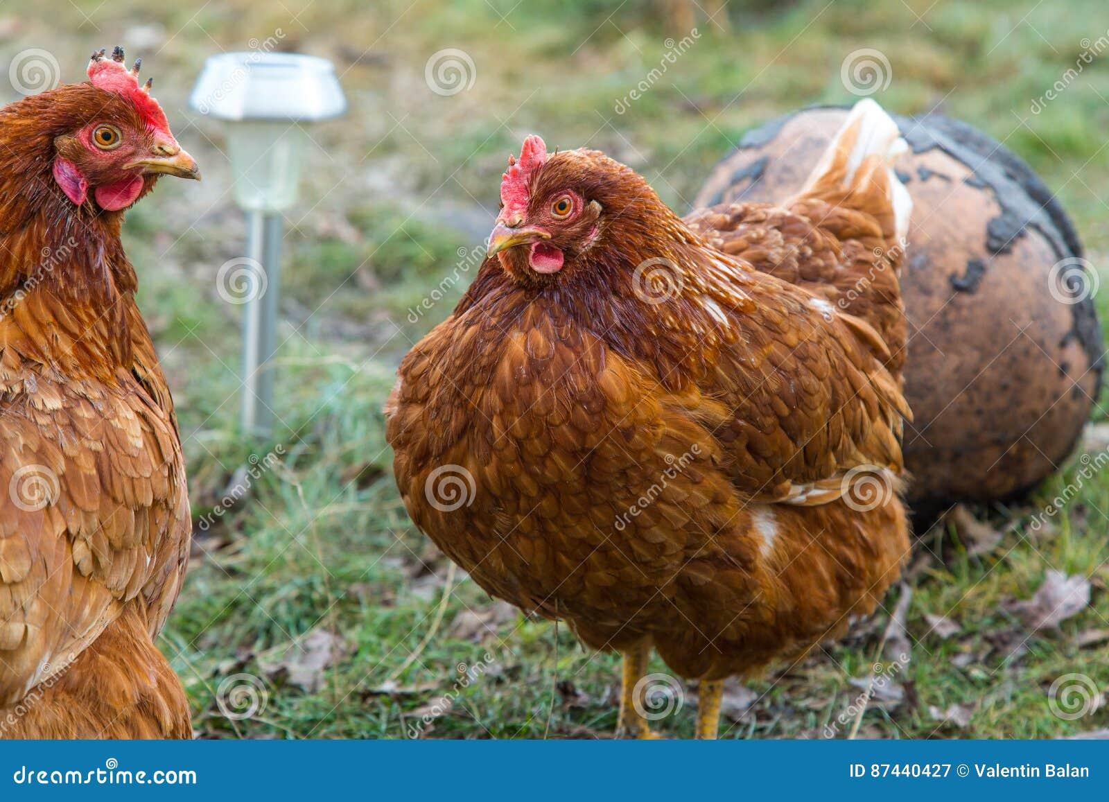 Poulets en cour de pays