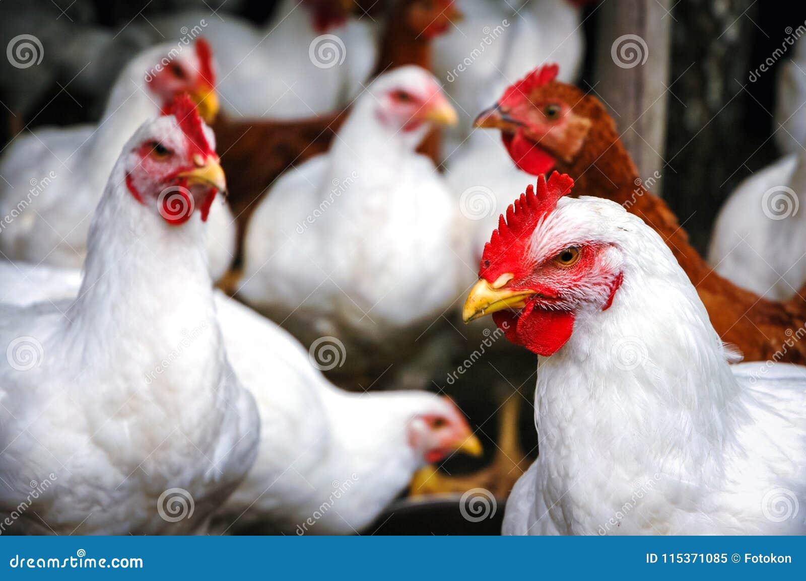Poulets en Pologne