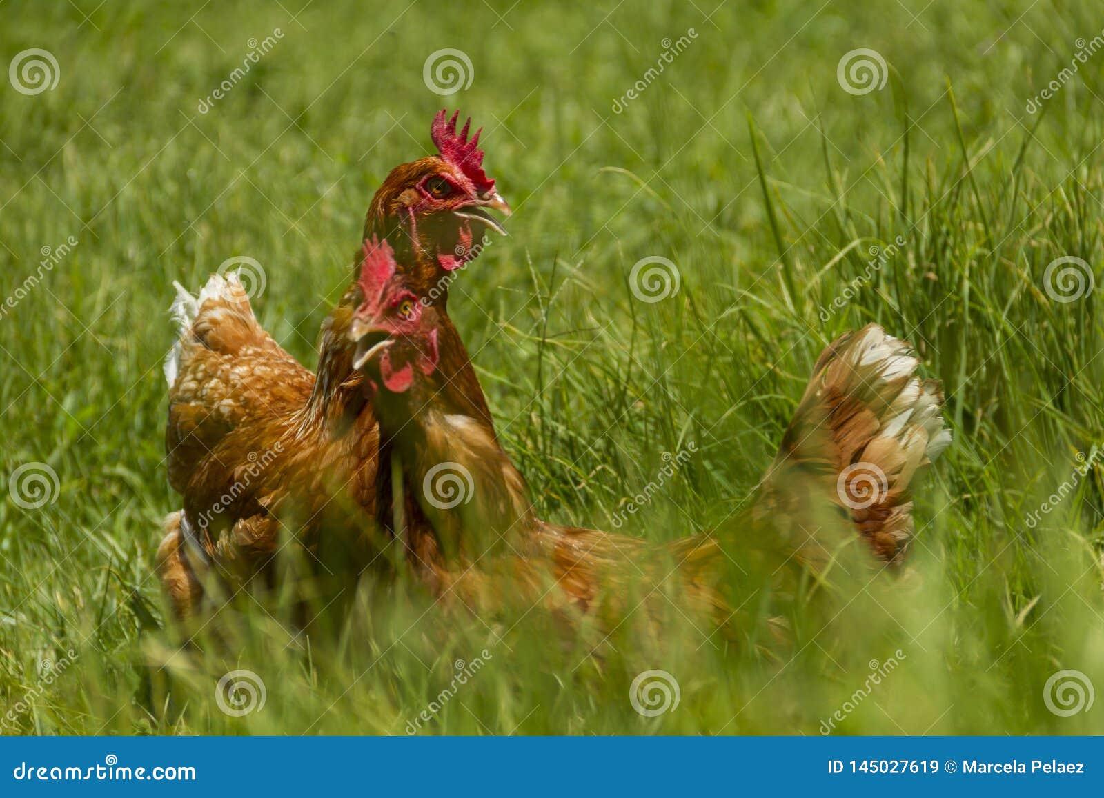Poulets libres dans la ferme organique d oeufs marchant sur l herbe verte