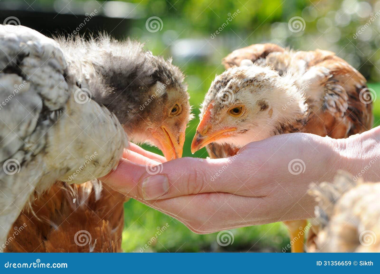 Poulets mangeant de la main