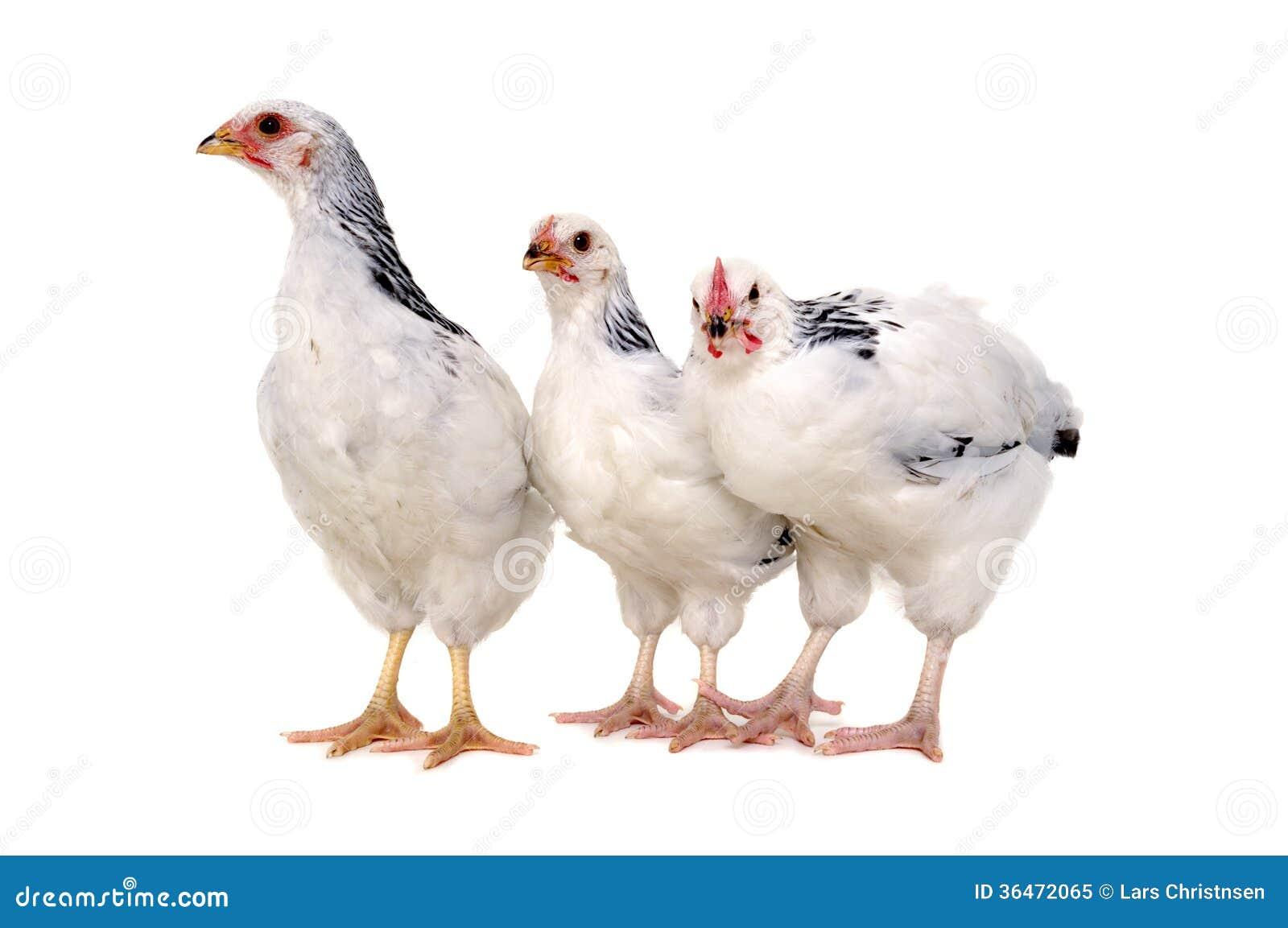 Poulets sur le fond blanc