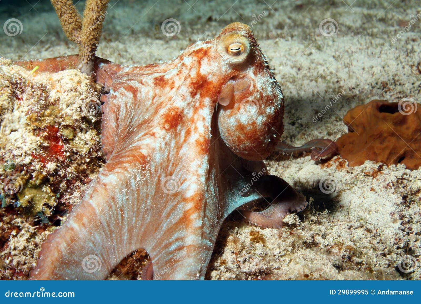 Poulpe des Caraïbes de récif