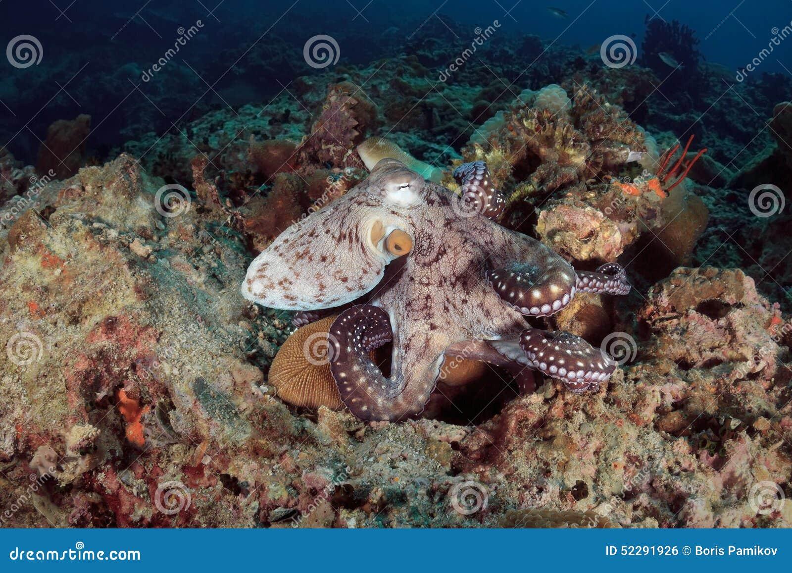 Poulpe sous-marin en mer d Andaman, Thaïlande