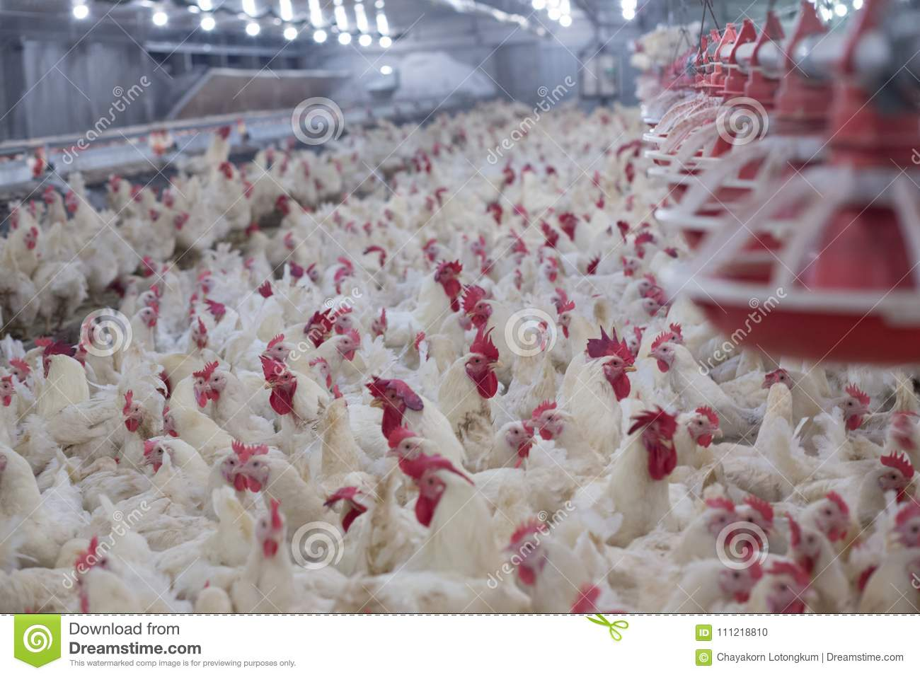 Poultry farm with chicken