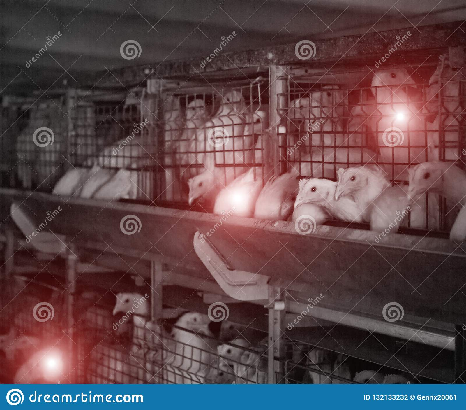 Poultry farm with sick chickens, emidemia and chicken diseases, veterinary
